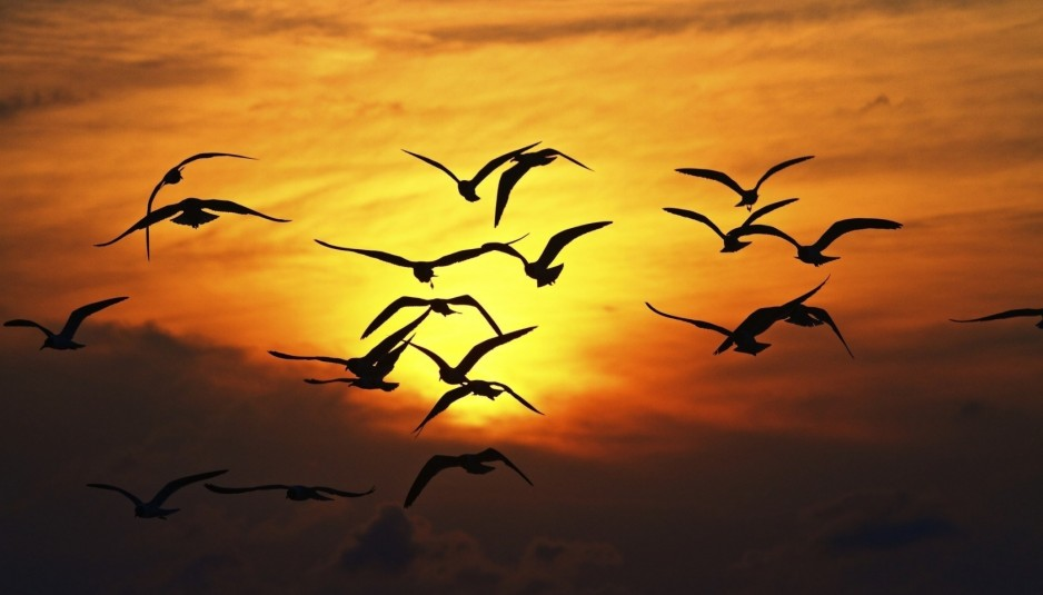 nature-birds-silhouette-sunset-wings-fly-sky-hd-wallpaper